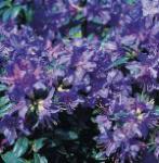 Zwerg Rhododendron Azurwolke 15-20cm - Rhododendron russatum - Zwerg Alpenrose