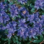 Zwerg Rhododendron Gletschernacht 25-30cm - Rhododendron russatum - Zwerg Alpenrose