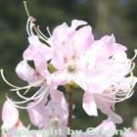 Wildform Rhododendron vaseyi 40-50cm