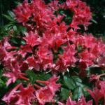 Rhododendron Kaminduft 30-40cm - Rhododendron viscosum