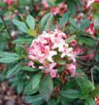 Rhododendron Lollipop 40-50cm - Rhododendron viscosum