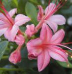 Rhododendron Pink and Sweet 40-50cm - Rhododendron viscosum
