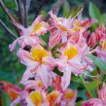 Rhododendron Quiet Throughts 30-40cm - Rhododendron viscosum