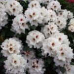 Rhododendron Bohlkens Snow Fire® 40-50cm - Rhododendron williamsianum