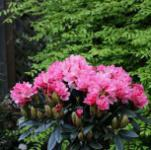 Rhododendron Clivia 50-60cm - Rhododendron williamsianum
