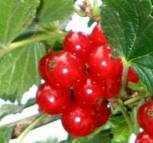 Rote Johannisbeere Jonkheer van Tets 60-80cm - Ribes rubrum
