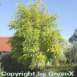 Gold Robinie 100-125cm - Robinia pseudoacacia