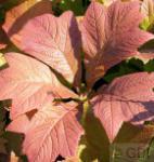 Fiederblättriges Schaublatt Chocolate Wings - Rodgersia pinnata