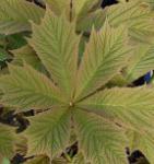 Gestieltblättriges Schaublatt Smaragd - Rodgersia podophylla