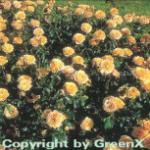 Floribundarose Amber Queen® 30-60cm