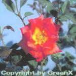 Edelrose Piccadilly 30-60cm
