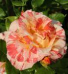 Malerrose Alfred Sisley® 30-60cm