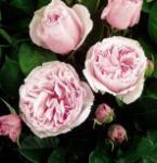 Hochstamm Rose Gartenträume® 60-80cm - Tantau Rose