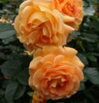 Floribundarose Goldelse® 30-60cm - Tantau Rose