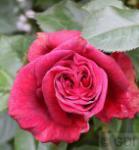 Kletterrose Red Flame® 30-60cm