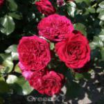 Märchenrose Rotkäppchen® 30-60cm
