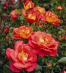 Floribundarose Shanty® 30-60cm - Tantau Rose