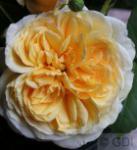 Englische Rose Teasing Georgia® 30-60cm