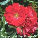 Hochstamm Rose Mainaufeuer 80-100cm