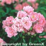 Hochstamm Rose The Fairy 60-80cm