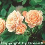 Englische Rose Charles Austin® 30-60cm