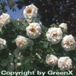 Parkrose Frühlingsduft 30-60cm