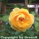 Englische Rose Graham Thomas® 30-60cm