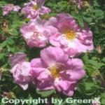 Parkrose Marguerite Hilling 30-60cm