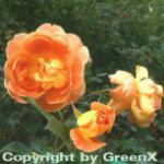 Englische Rose Pat Austin® 30-60cm