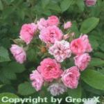 Parkrose Pink Grootendorst 30-60cm