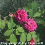 Historische Rose Rose de Resht 30-60cm
