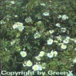 Kriechrose 20-30cm - Rosa arvensis