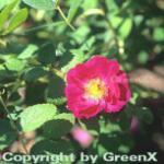 Historische Rose Officinalis 30-60cm