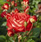 Nostalgierose Midsummer® 30-60cm - Tantau Rose
