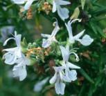 hängender Rosmarin - Rosmarinus lavandulascens