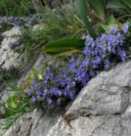 Rosmarin Blue Rain - Rosmarinus officinalis