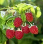Himbrombeere - Rubus Tayberry