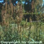 Wiesen Sauerampfer - Rumex acetosa