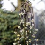 Hochstamm Zwerg Hängeweide 40-60cm - Salix caprea cottetti