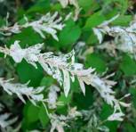 Zierweide Hakuro Nishiki 40-60cm - Salix integra