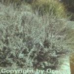 Silber Kriechweide 40-60cm - Salix repens