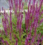 Ziersalbei Amethyst - Salvia nemorosa
