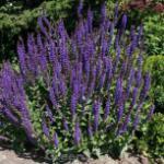 Ziersalbei Marcus - Salvia nemorosa