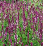 Ziersalbei Rose Queen - Salvia nemorosa