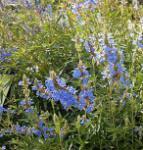 Pfeffer Salbei African Skies - Salvia uliginosa