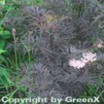 Schwarzer Holunder Black Lace® 60-80cm - Sambucus nigra
