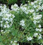 Seifenkraut Snow Tip - Saponaria ocymoides