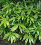 Breitblättriger Bambus 100-125cm - Sasa palmata nebulosa