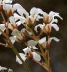 Rosetten Steinbrech - Saxifraga cotyledon