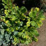 Porzellanblümchen Variegata - Saxifraga urbium Variegata